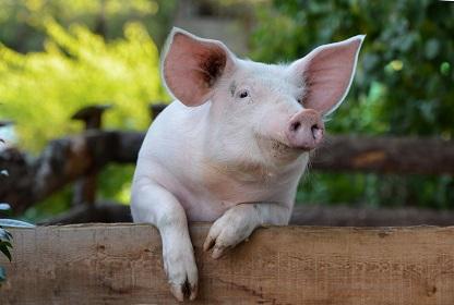Hausschwein Umsteuern oder Neugründen